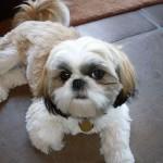犬猫の皮膚病、軟膏とシャンプーどっちがいい?