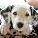 ペットの皮膚炎にお悩みの方、ツメダニ皮膚炎の可能性はありませんか?