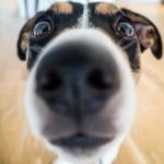 人間のガンを約90%の高確率でかぎ分ける犬がいる!?