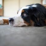急増中「犬のノミアレルギー性皮膚炎」の対策をしよう!