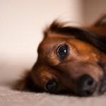 完治は可能?犬の椎間板ヘルニア。