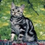 【猫】アメリカンショートヘアがかかりやすい病気を知っていますか?