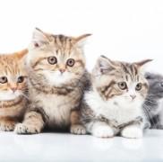 【猫】スコティッシュフォールドがかかりやすい病気とは?