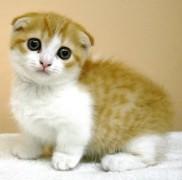 人気猫マンチカンがかかりやすい病気の原因と予防法