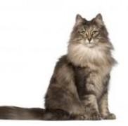 大型猫ノルウェージャンフォレストキャットがかかる主な病気の症状と予防法