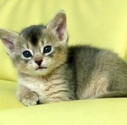 エジプトが原点のネコちゃんアビシニアンの性格やかかりやすい病気とは?
